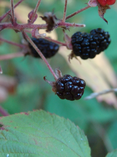 The Lure of the Blackberry