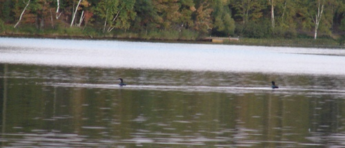 Loons showing winter gray colors