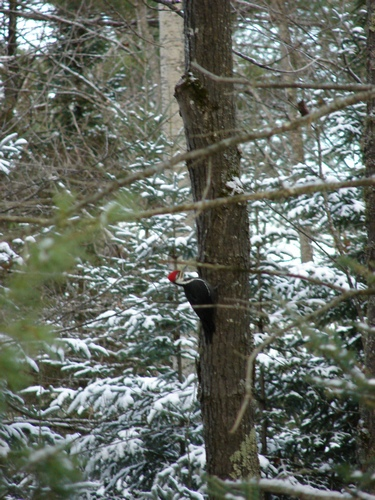 The elusive Pileated Woodpecker