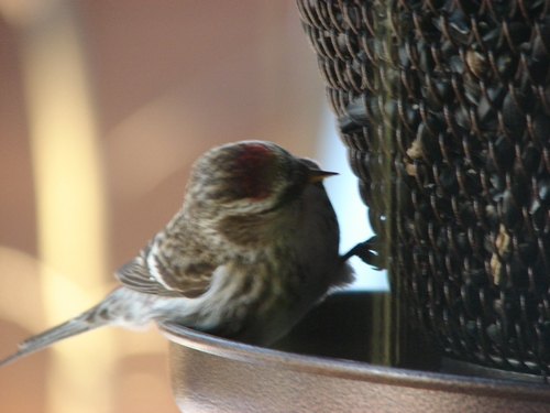 Red Pole stopping into the feeder